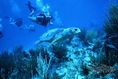 Sea turtles greet campers while SCUBA diving at Seacamp